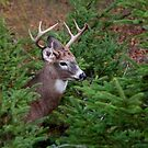 In Amongst the Pines - White-tailed Deer by Jim Cumming