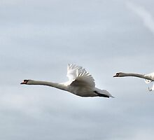 Mute Swans in flight  by Jenny1611