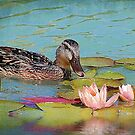 The Female Mallard &The Waterlily by Kathy Baccari
