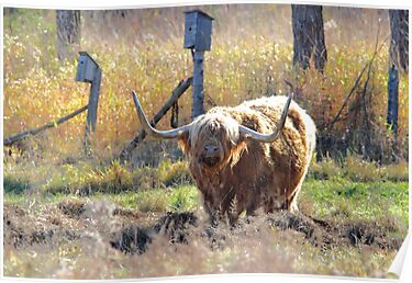Highland Cow by Jim Cumming