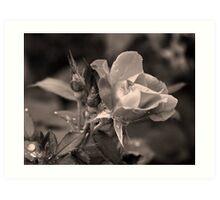 Rose of Hard Knocks Art Print