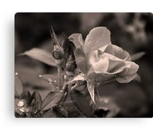 Rose of Hard Knocks Canvas Print