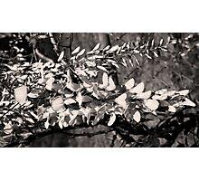 Wisteria  Photographic Print