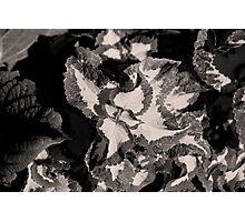 Black Mountain Coleus Photographic Print