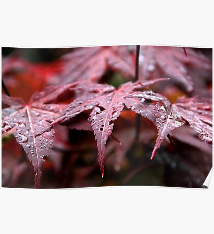 Red Acer Poster