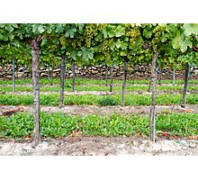 Riesling Photographic Print