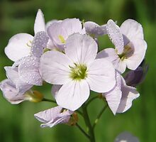 Cuckoo Flowers by Barrie Woodward