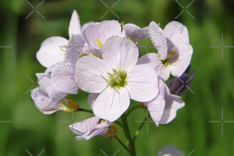 Cuckoo Flowers by Barrie Woodward