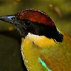 Noisy Pitta by Penny Smith