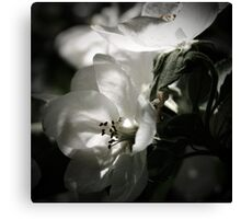 Apple Tree Blossoms ~ Floral Photography Canvas Print