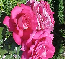 3 Pink Roses-H by Photos55