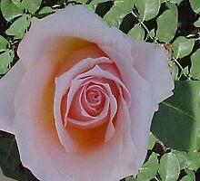 Peach Roses... by Photos55