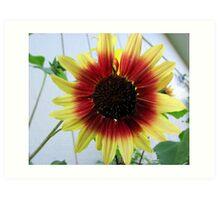 Red and Yellow Sunflower Art Print