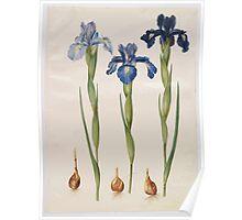 Johannes Simon Holtzbecher Iris xiphioides Poster