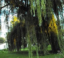 Willow Weeping by A Woman and a Camera Photography