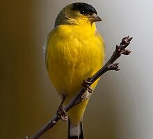Lesser Goldfinch iPhone Case by Martin Smart iPhone Cases