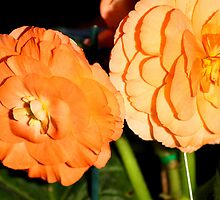 Tuberous Begonia #1 by Carole-Anne