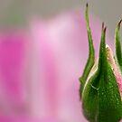 Graceful rosebud by Celeste Mookherjee