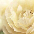 Pale Rose by Beth Mason