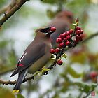 Cedar Waxwing by jasonsax