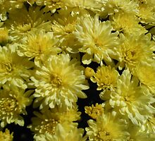 Yellow Mum by Photos  D'Argent