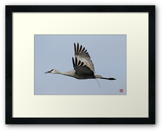 Sandhill Crane by jasonsax