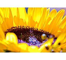 Shining Sunflower Photographic Print