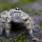 Hairy Jumping Spider by Normf