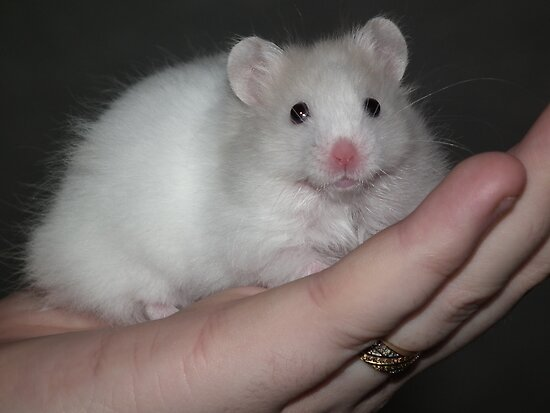"""Close up of a white syrian hamster"" by Abigail Langridge ..."