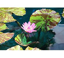 Pink Water Lily Photographic Print