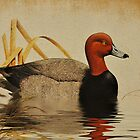 Red Headed Duck by Kathy Baccari