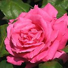Contented Rose by kathrynsgallery