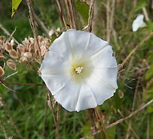Hedge Bindweed by DEB VINCENT