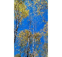 Blue sky and poplars Photographic Print
