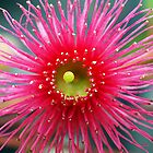 Eucalypt Flower - Pink by Bev Pascoe