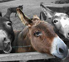 Donkeys by NiallMcC