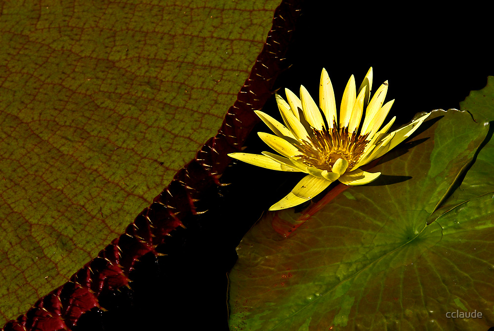 Yellow Waterlily by cclaude