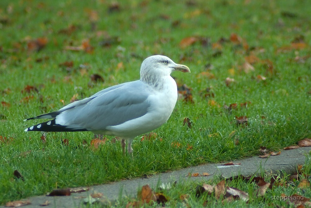 Bright eyed gull on the lawn by steppeland