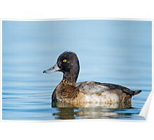 Approachable Scaup Poster