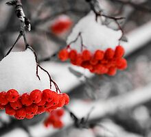 Mountain Ash Berries by Mike Moruzi