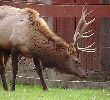Bull Elk (for jeanlphotos) by vigor