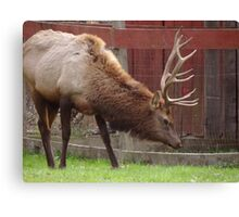 Bull Elk (for jeanlphotos) Canvas Print