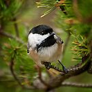 Black Capped Chickadee on Pine by Michael Cummings
