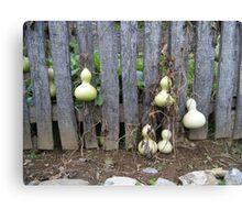 Landis Valley Gourds in the Garden I Canvas Print