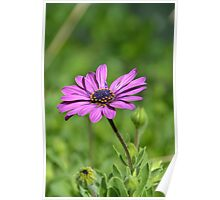 Single African Daisy  Poster