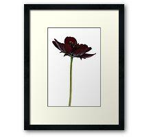 Chocolate Cosmos Flower Framed Print