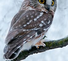 Northern Saw Whet Owl Branch by Michael Cummings