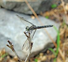 Blue Dasher - Pachydiplax longipennis by MotherNature