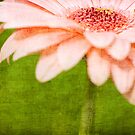 Pink Gerbera by Mike Moruzi