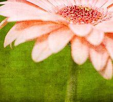 Pink Gerbera by Mike Moruzi